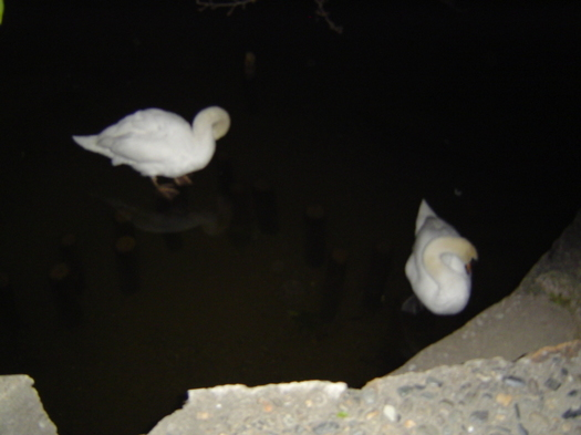 DSC09139白鳥.JPG